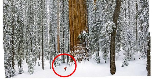 Essa árvore de 3200 anos é tão grande que nunca coube em uma ...