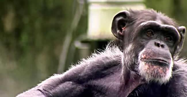 Sua memória é boa? A deste chimpanzé é muito melhor.