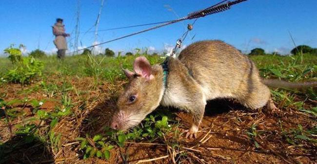 Ratos estão salvando milhares de vidas na África de um jeito que ...