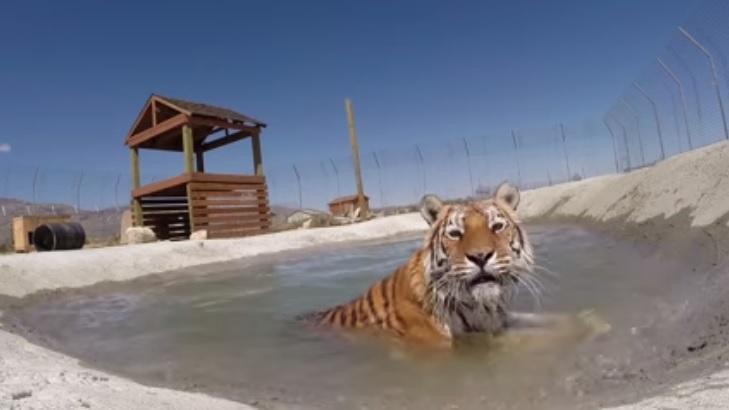 Estes tigres nunca tinham nadado antes. Veja o que aconteceu ...