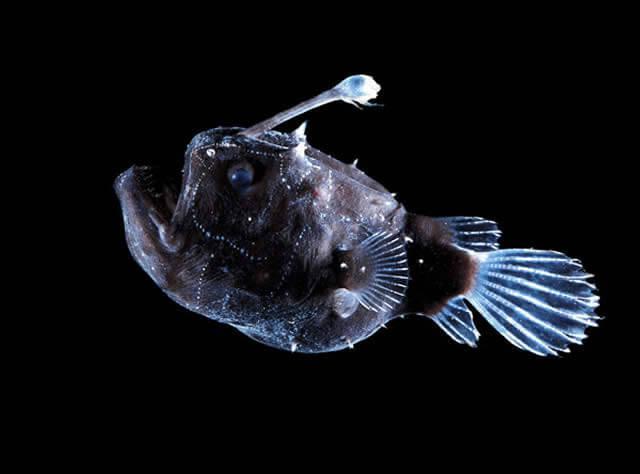Criaturas Marinhas Peixe-pescador