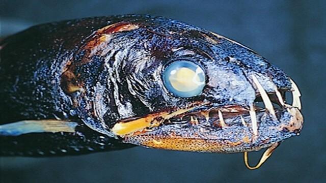 Criaturas Marinhas Peixe-dentes-de-sabre