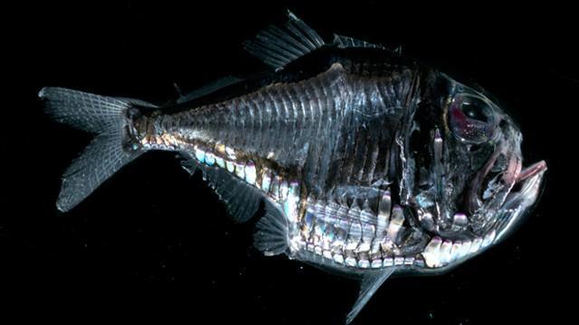 Criaturas Marinhas Peixe-machado