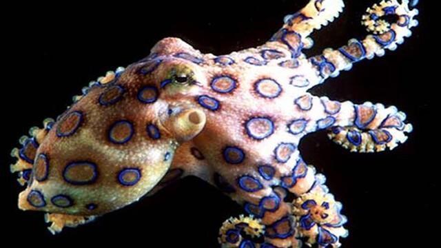 Criaturas Marinhas Polvo-de-anéis-azuis