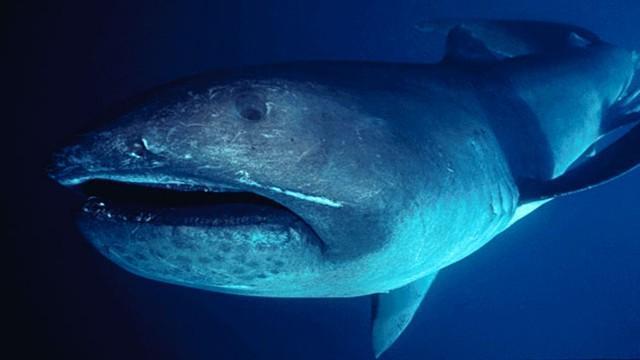 Criaturas Marinhas Tubarão-boca-grande