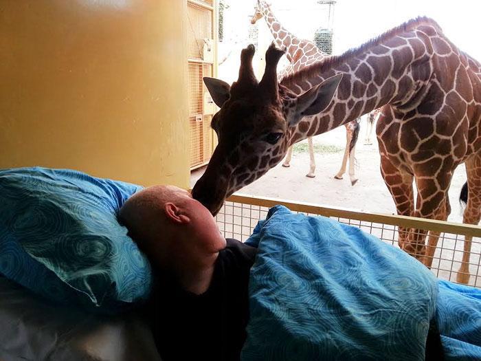 Girafa lambendo o rosto do paciente