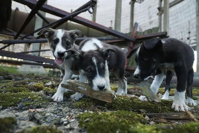 Três filhotinhos de cachorro que vivem em Pripyat