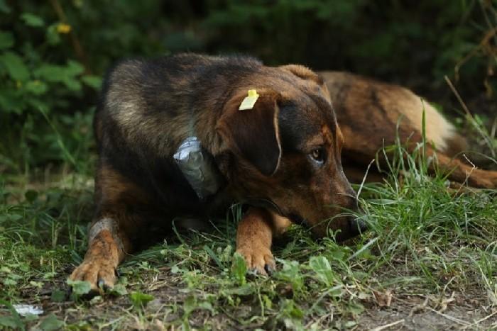 Cachorro com uma coleira de rastreamento