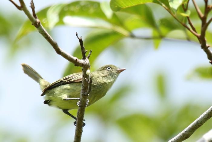 Novas espécies da Amazônia 3