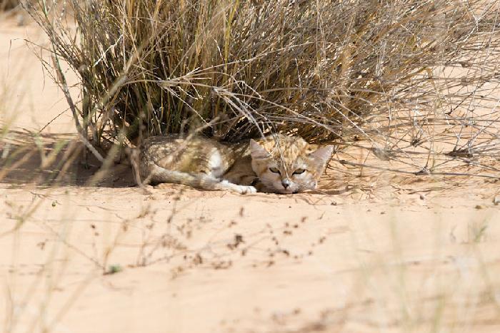 Gatinhos de areia fotografados pela primeira vez 3