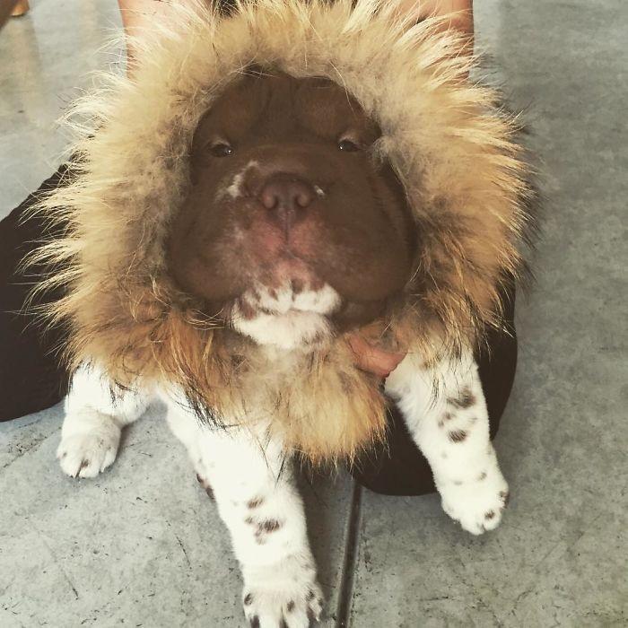 Shar-pei encanta com sua fofura de ursinho (8)