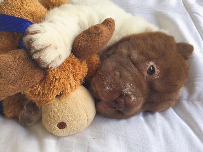 Shar-pei encanta com sua fofura de ursinho (13)
