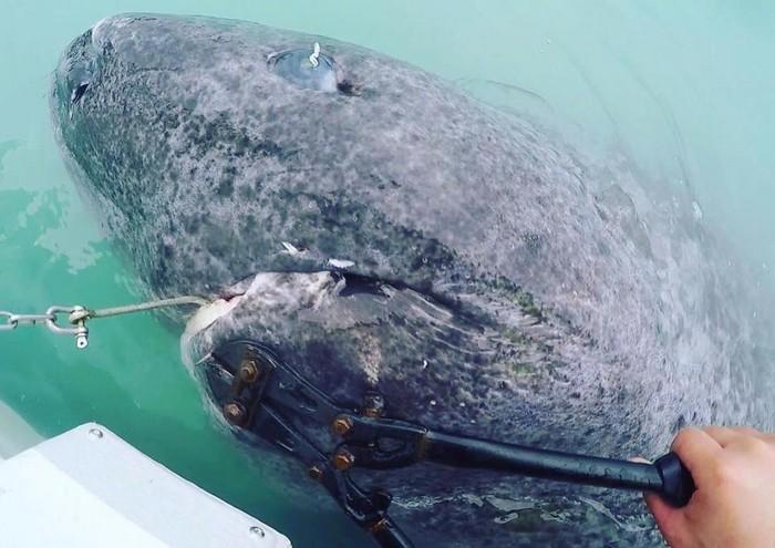Tubarão de 512 anos (2)