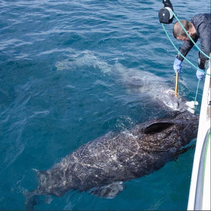 Tubarão de 512 anos (1)