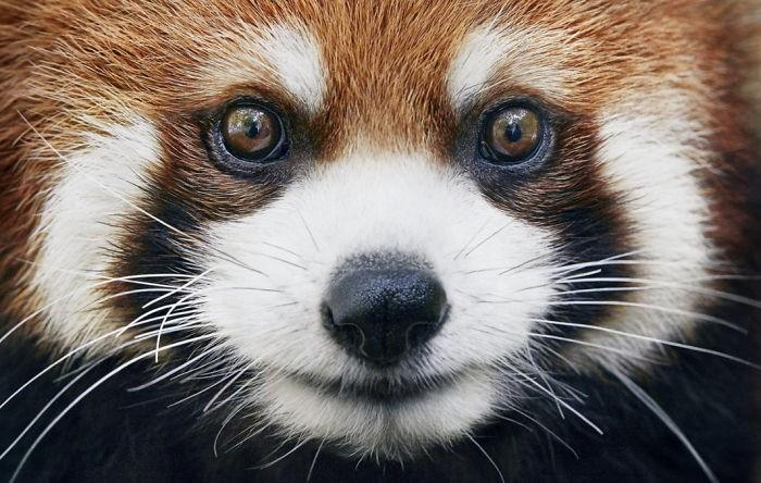 Fotógrafo cria, em dois anos, série com animais em extinção (9)