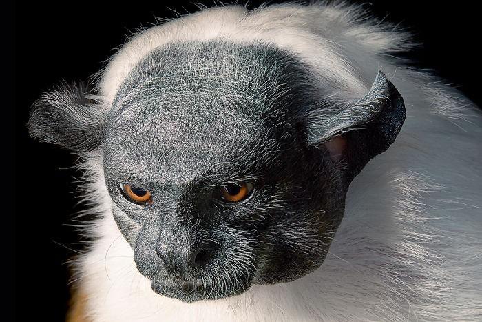 Fotógrafo cria, em dois anos, série com animais em extinção (3)