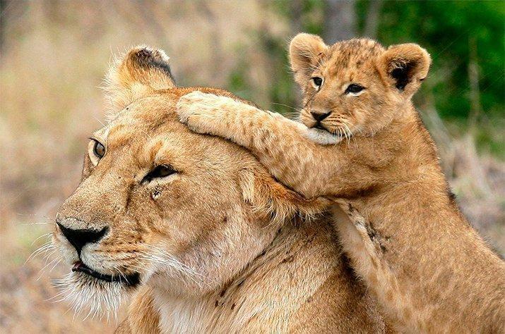Amor de mãe animal (3)