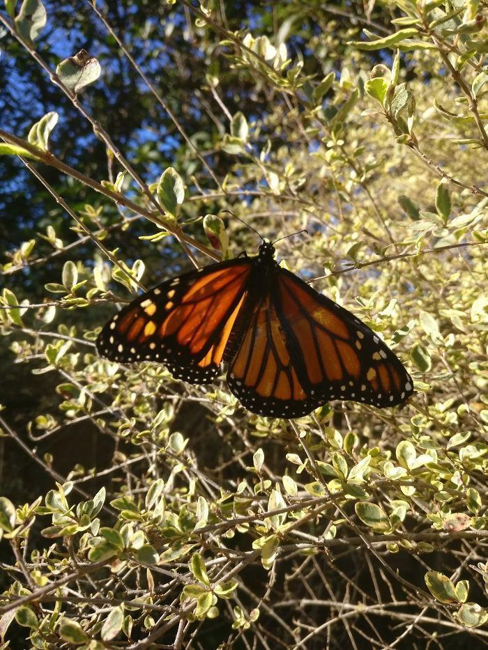 transplante de asa em borboleta-monarca (6)
