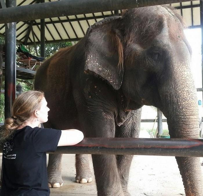 elefante de 60 anos morre na Tailãndia (1)