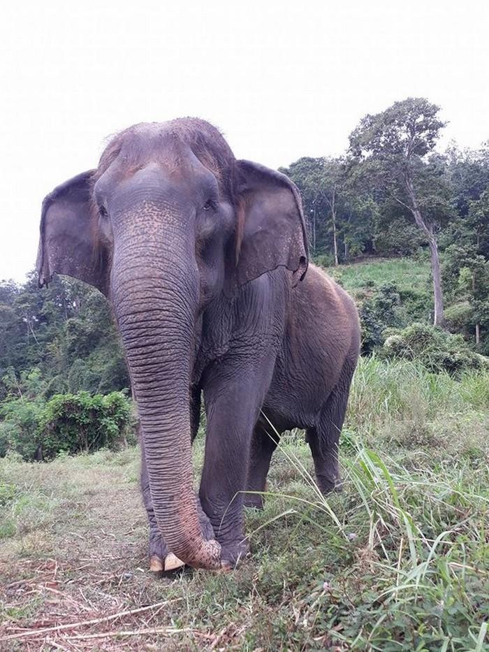 elefante de 60 anos morre na Tailãndia (9)
