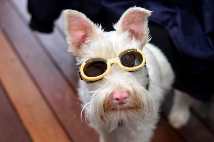 Cão Albino com óculos de sol (1)