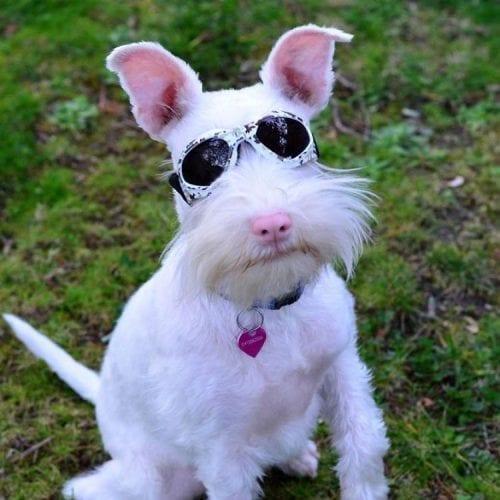 Cão Albino com óculos de sol (5)