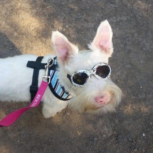 Cão Albino com óculos de sol (7)