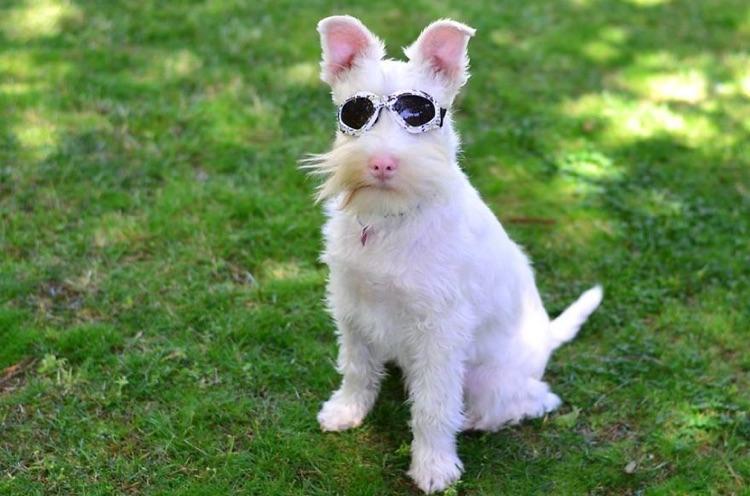 Cão Albino com óculos de sol (9)