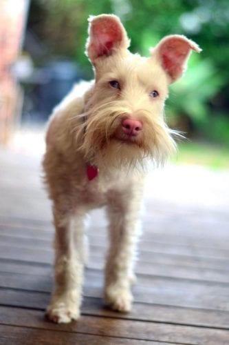 Cão Albino com óculos de sol (11)