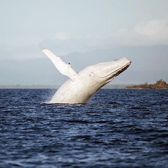 baleia-albina