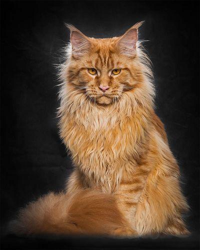 gato-gigante