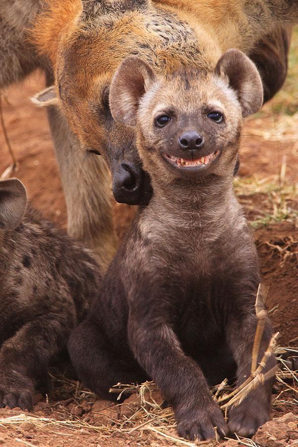 hiena-sorrindo