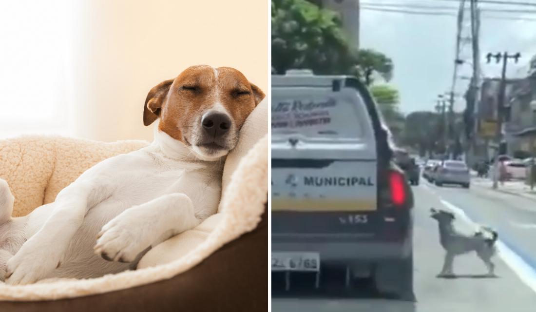 Cachorro que viu seu dono entrar em viatura, segue carro e algo inusitado acontece