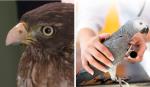 veterinaria-protese-para-aves