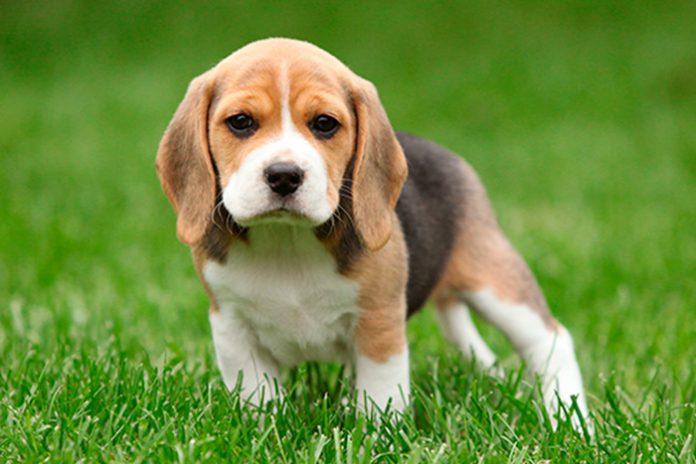 filhote-de-beagle