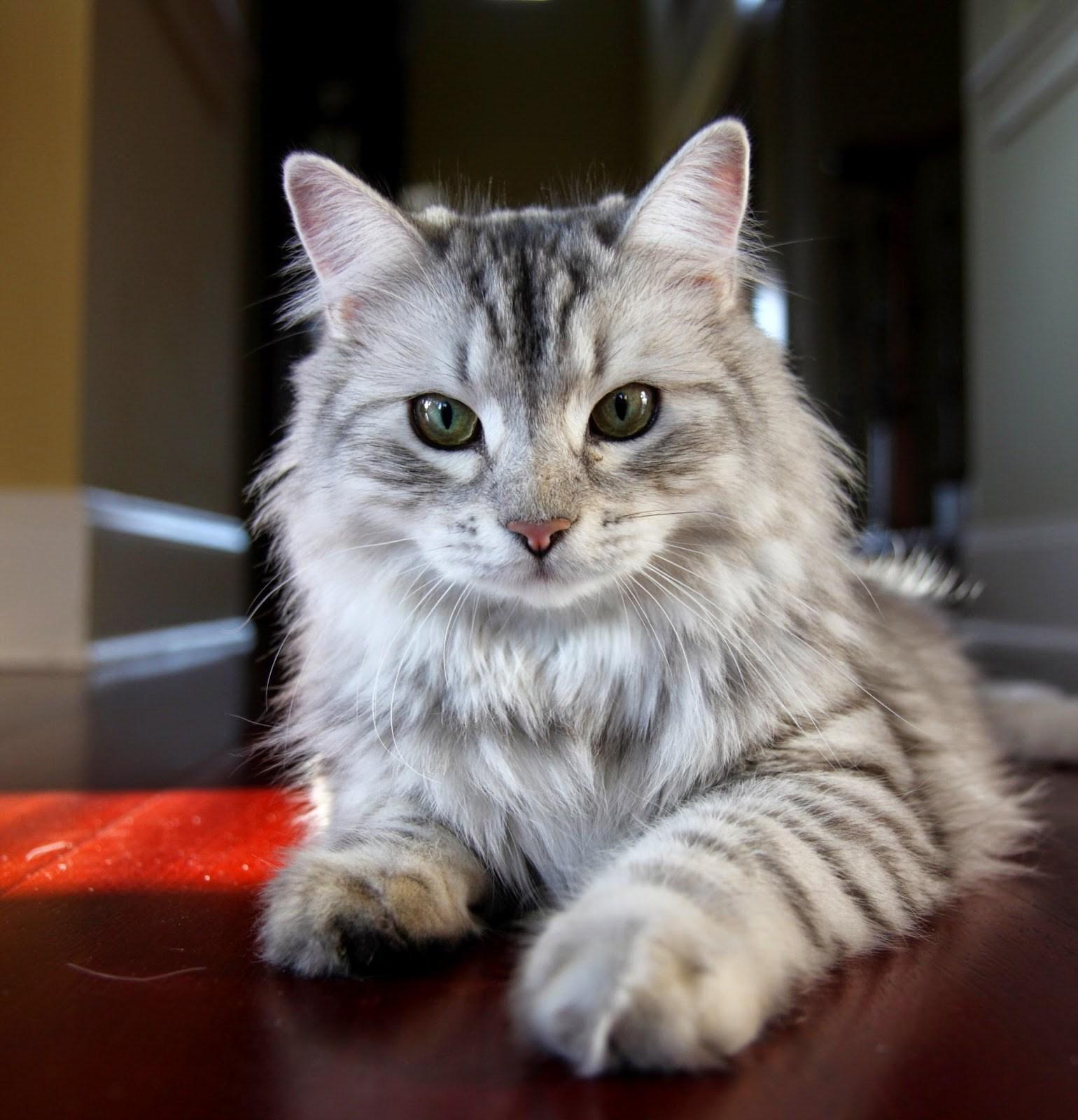 gato-cinza