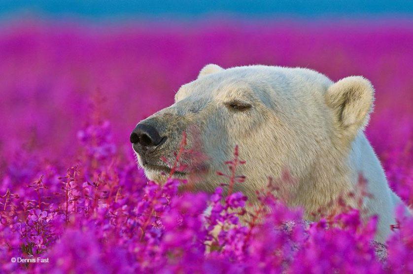 urso-polar-flores