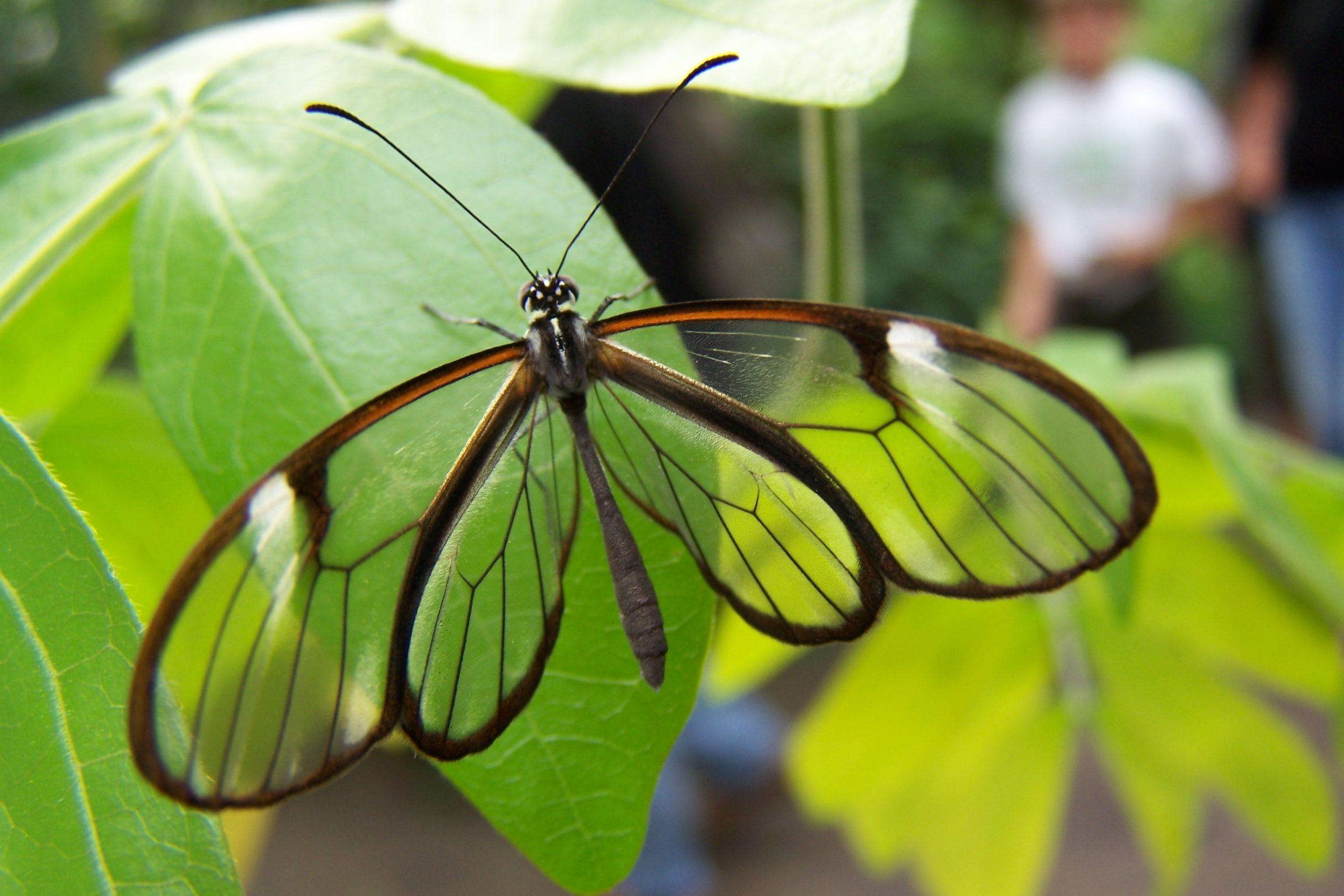 borboleta-asa-de-vidro