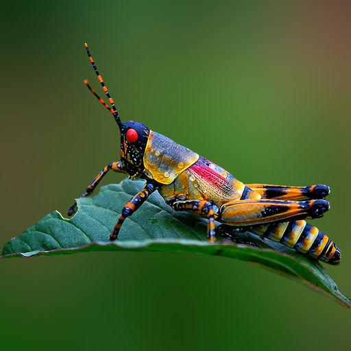 gafanhoto-arco-iris