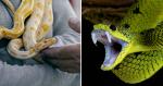 Saiba quem é o cientista que se dispõe a ser picado por cobras, para encontrar antídotos