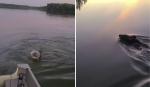 Família socorre urso que nadava com algo fora do normal preso em sua cabeça
