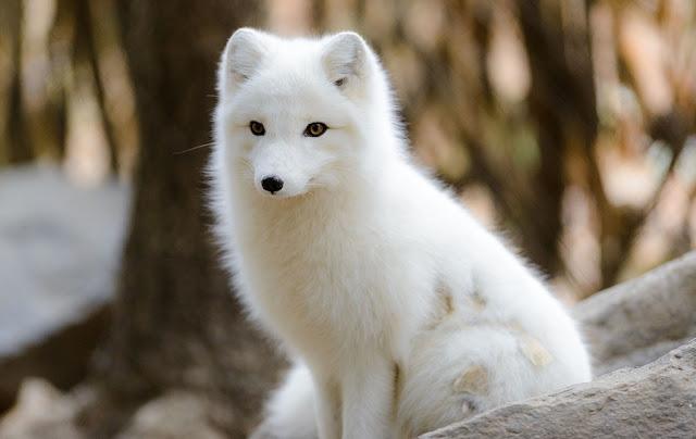 raposa-do-artico