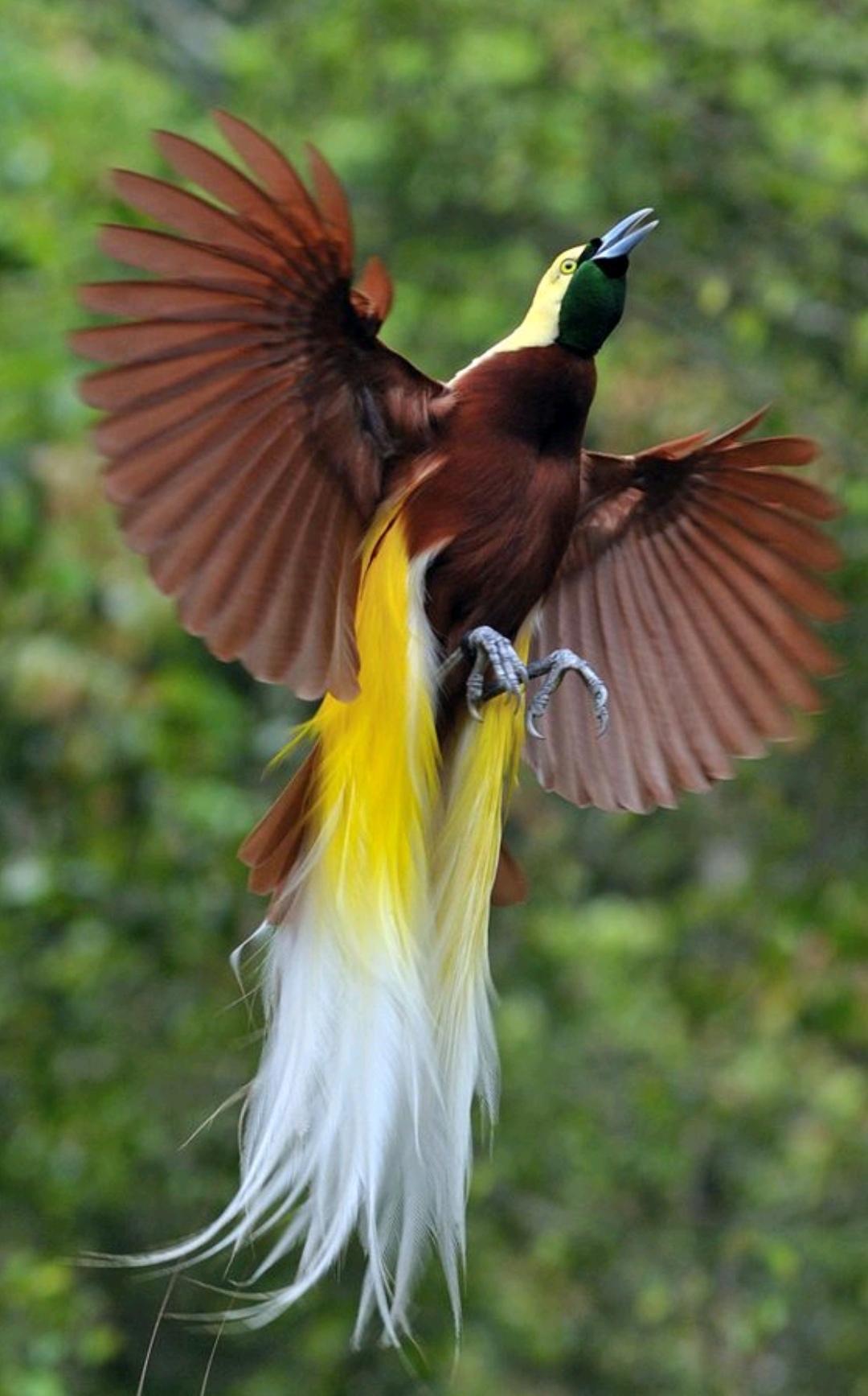 Pássaro do Paraíso Maior