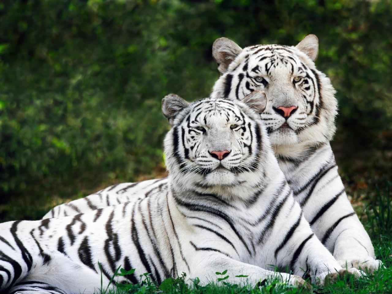 tigre-de-bengala-branco