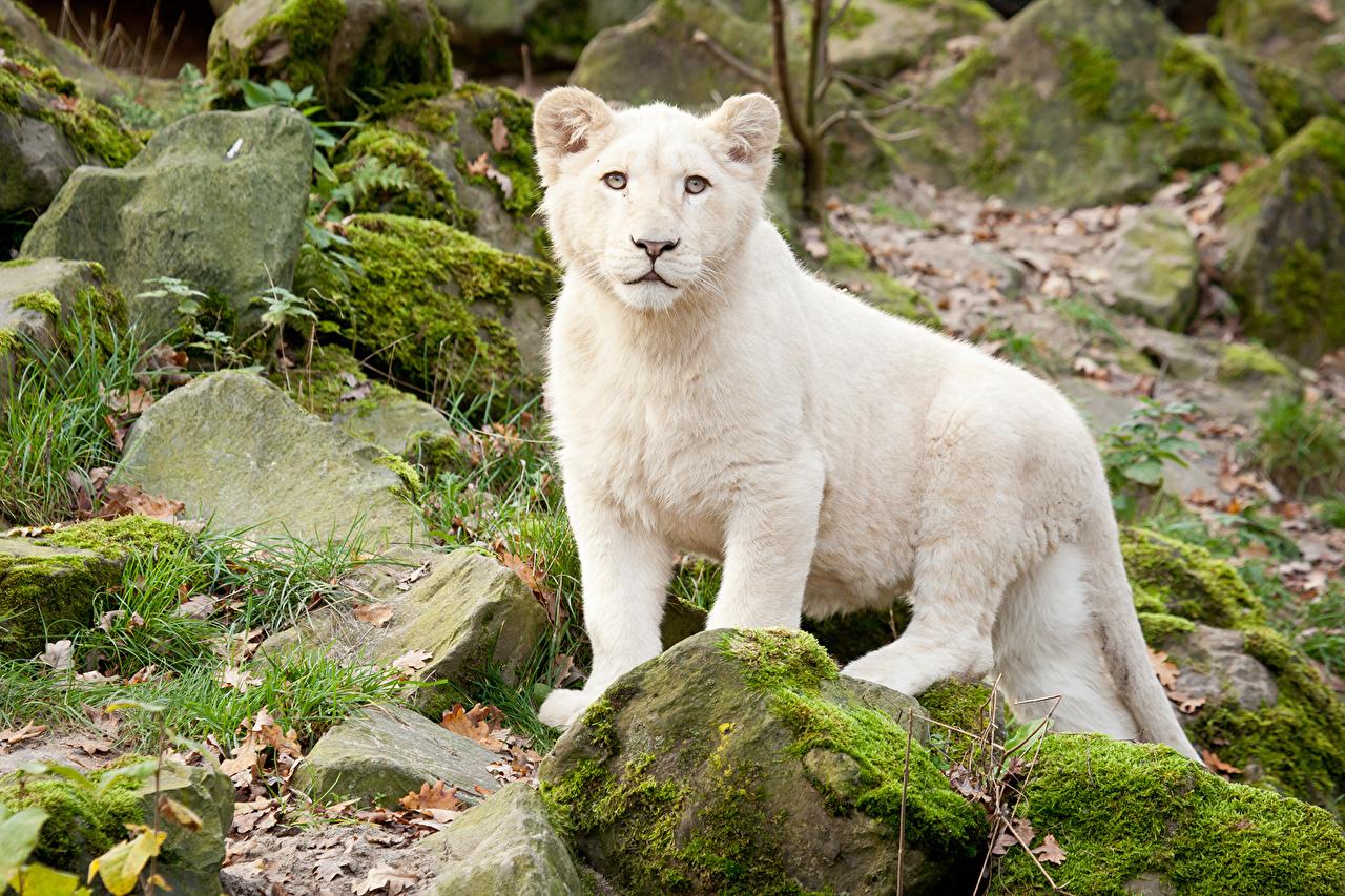 leao-branco