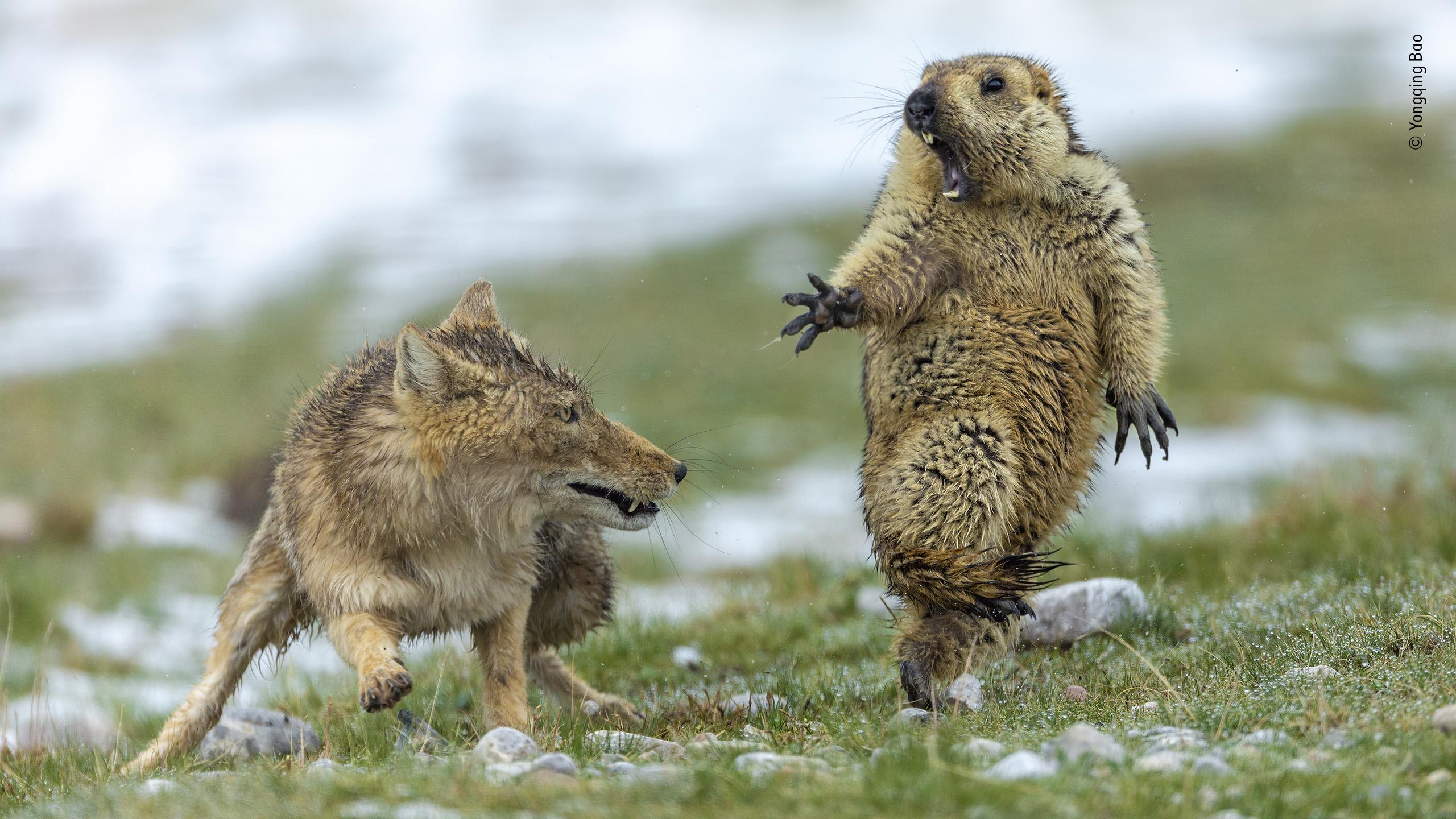 marmota-assustada
