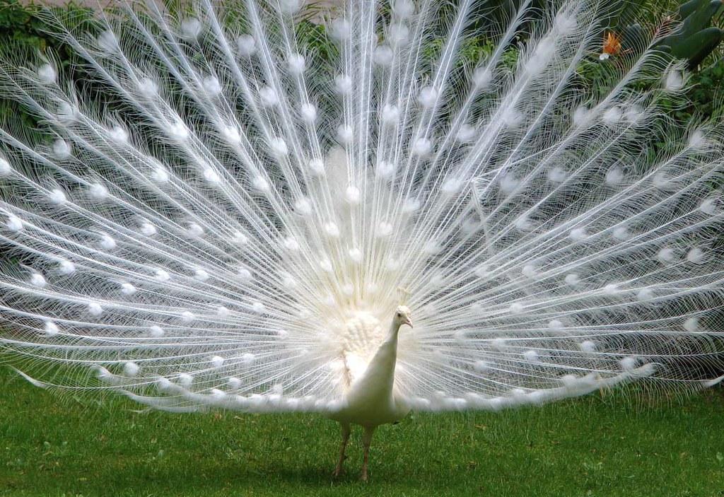 pavao-branco