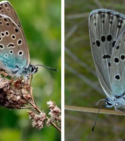 Após 150 anos, espécie rara de borboletas extintas reaparecem na Inglaterra