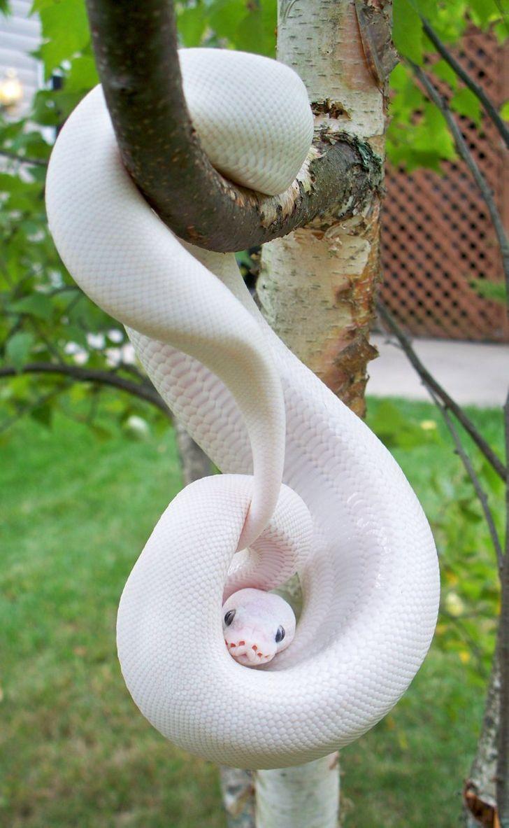 cobra-albina