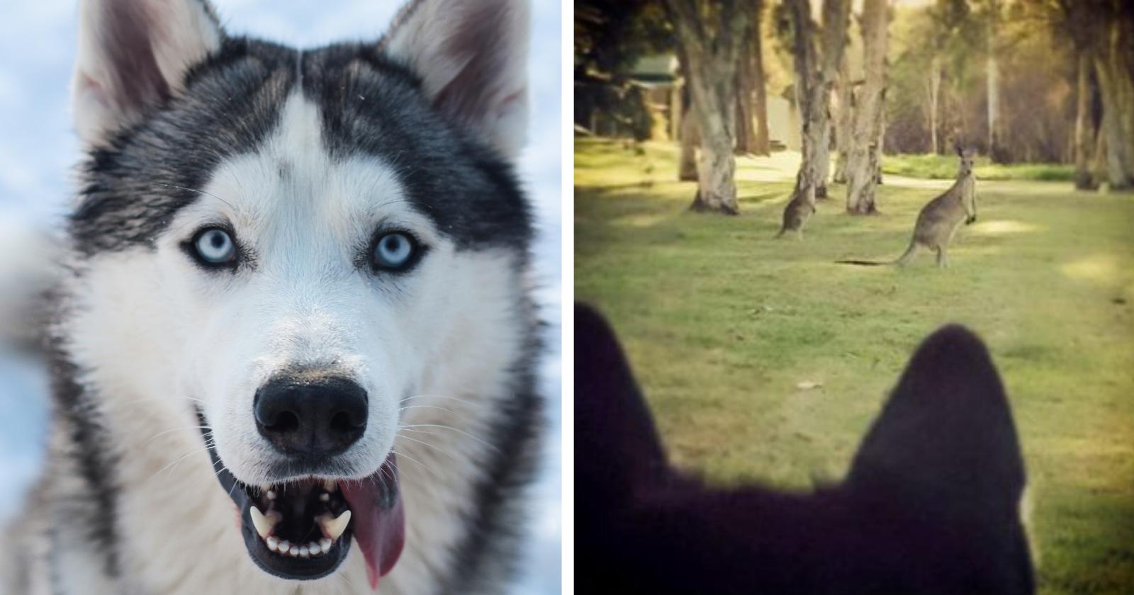 reacao-de-husky-siberiano-ao-ver-um-canguru-pela-primeira-vez-e-uma-das-imagens-mais-hilarias-ja-vistas